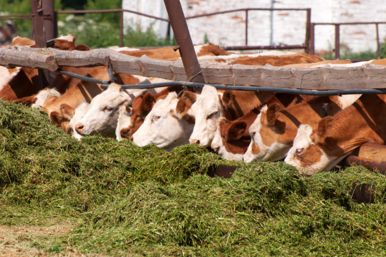 The cows eat silage feeders before the evening milking