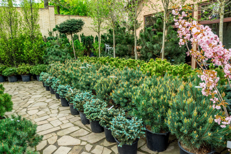 Garden shop. A row of plants for landscape design are offered for sale