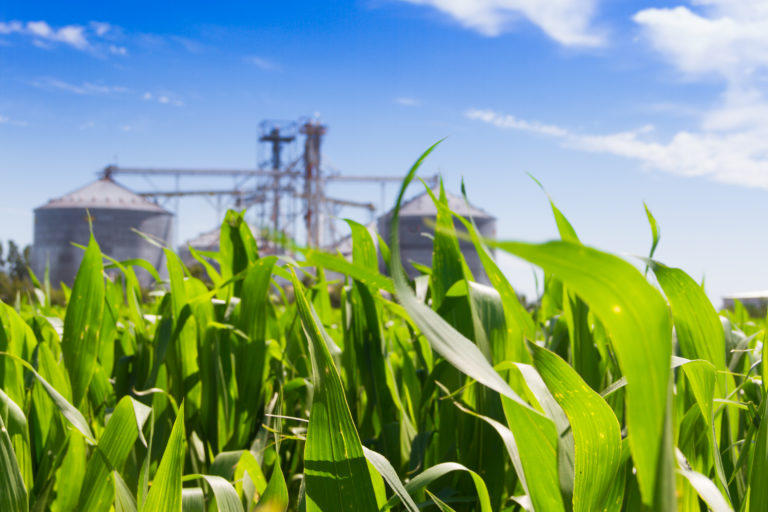 corn plantation and defocused silos in the background